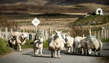Rush Hour Sheep - Landscape Photograph in The Outer Hebrides